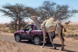 An Omani walks his camel while driving his truck.